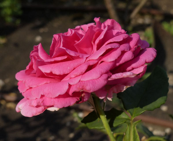 Rosa 'Tower Bridge'