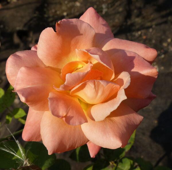 Rosa 'Open d'Australie'