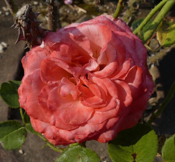 Rosa 'Regina'