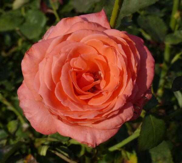 Rosa 'Romantica '76'