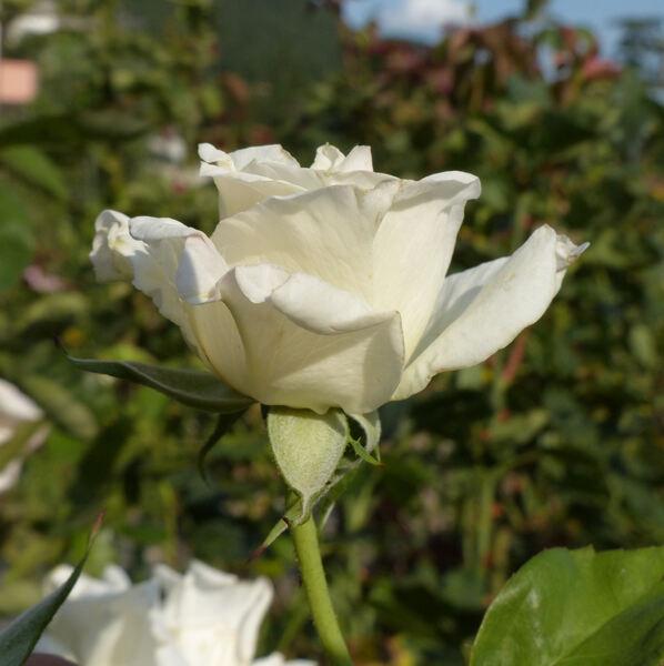 Rosa 'Evening Star ®'