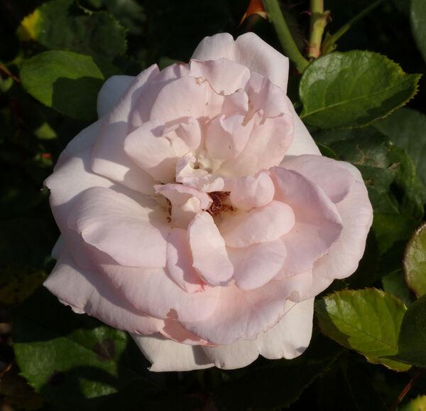 Rosa 'Femme'