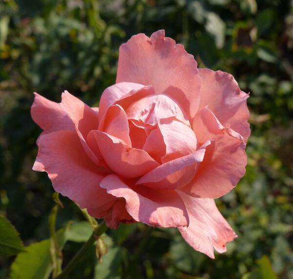 Rosa 'Angel Girl'