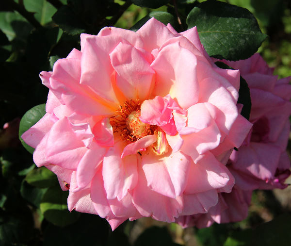 Rosa 'Astrée'