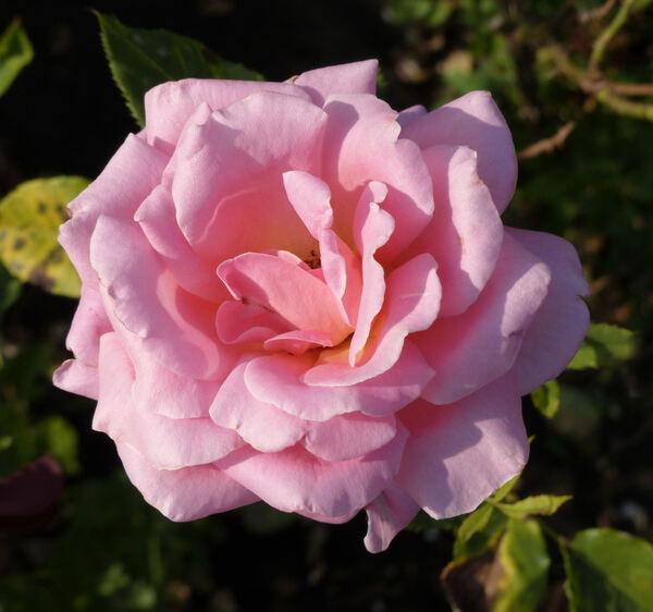 Rosa 'Eterna Giovinezza'