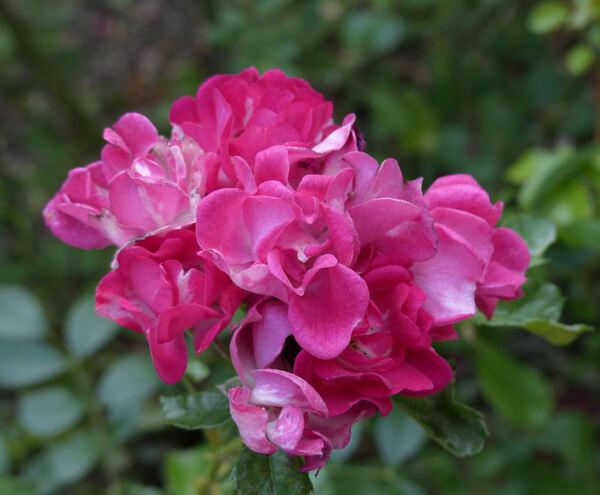 Rosa 'Polluce ®'