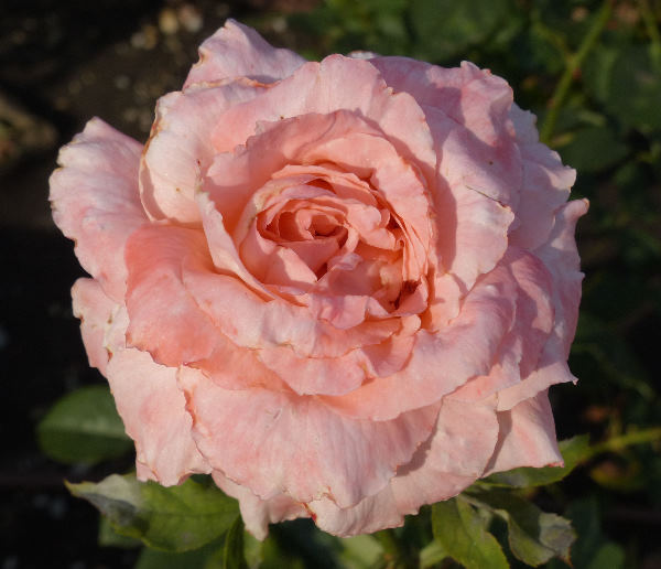 Rosa 'Peach Treat'