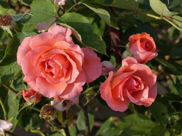Rosa 'Blessings ®'