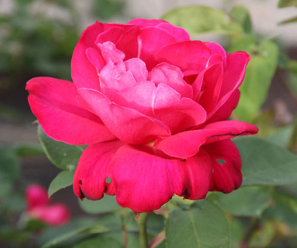 Rosa 'Alexander ®'