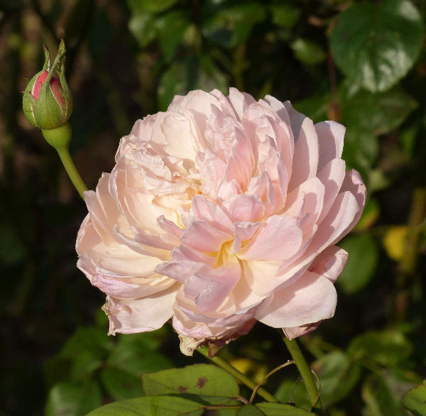 Rosa 'Mortimer Sackler ™'