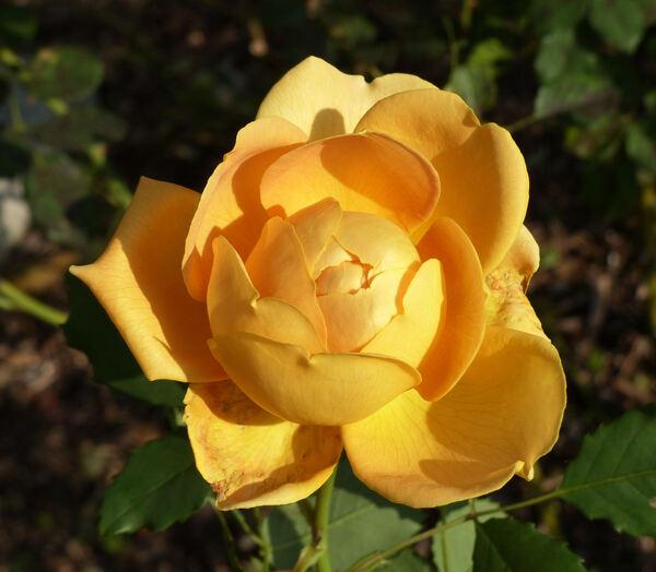 Rosa 'Evelyn ™'
