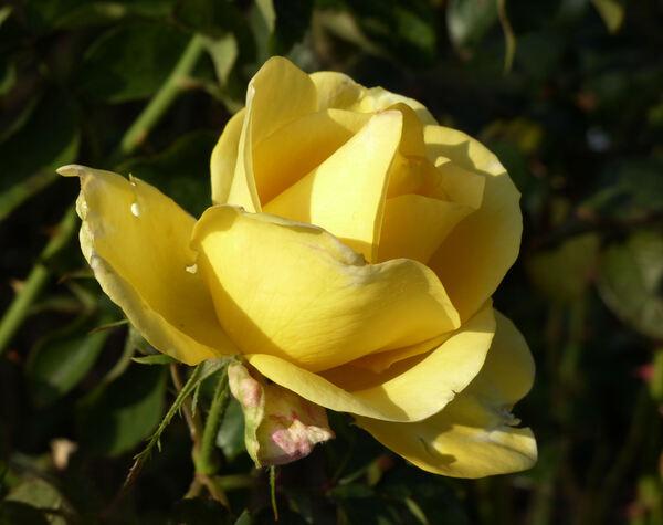 Rosa 'The Wainwright Rose'