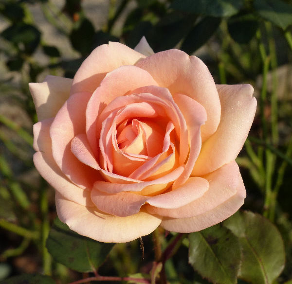 Rosa 'The Lady'
