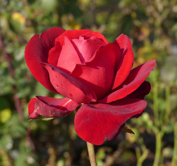 Rosa 'Ingrid Bergman ®'