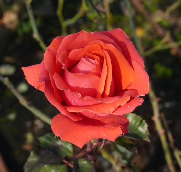 Rosa 'Ville d'Asnières'