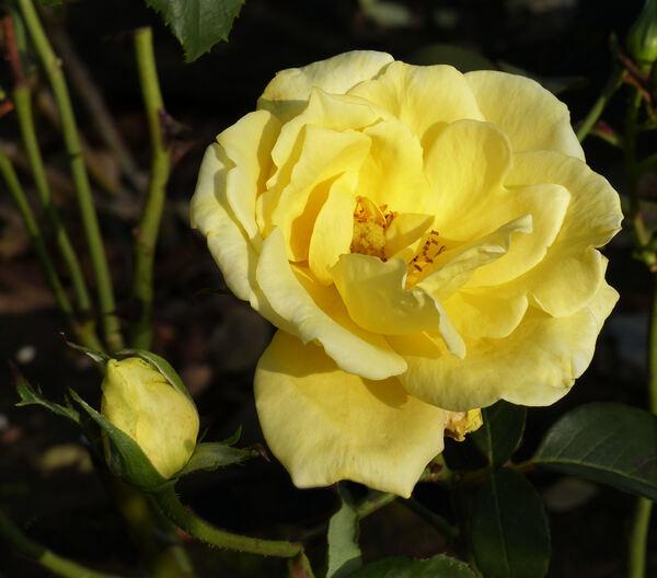 Rosa 'Épidor ®'