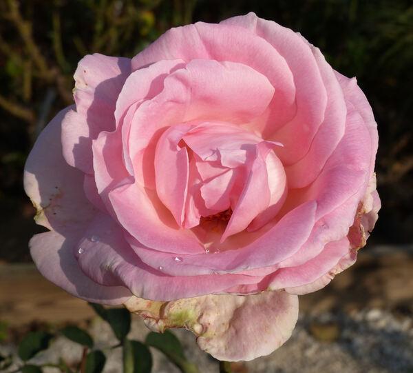 Rosa 'Grand Siècle ®'