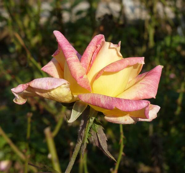Rosa 'Radka'