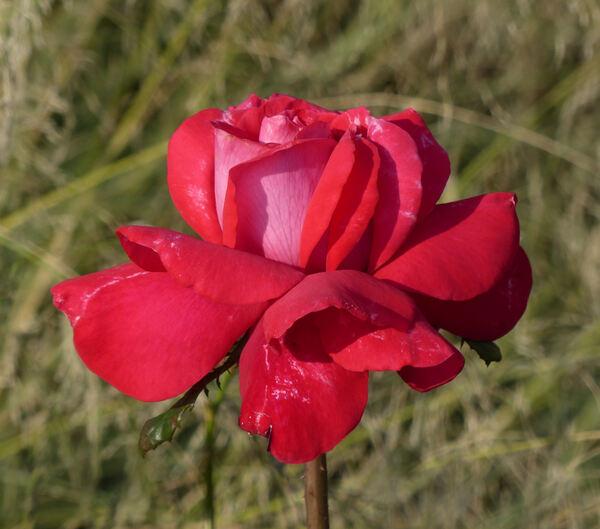 Rosa 'Caramba ®'