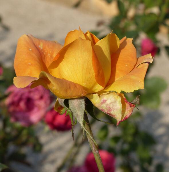 Rosa 'Trocadero'