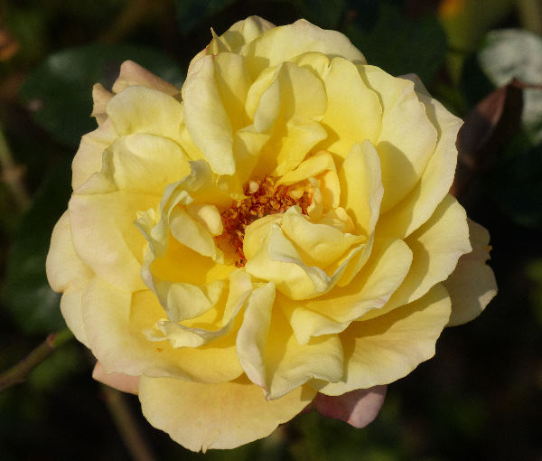 Rosa 'Tapestry'