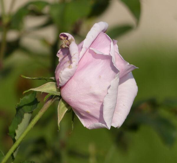 Rosa 'Freiburg II'