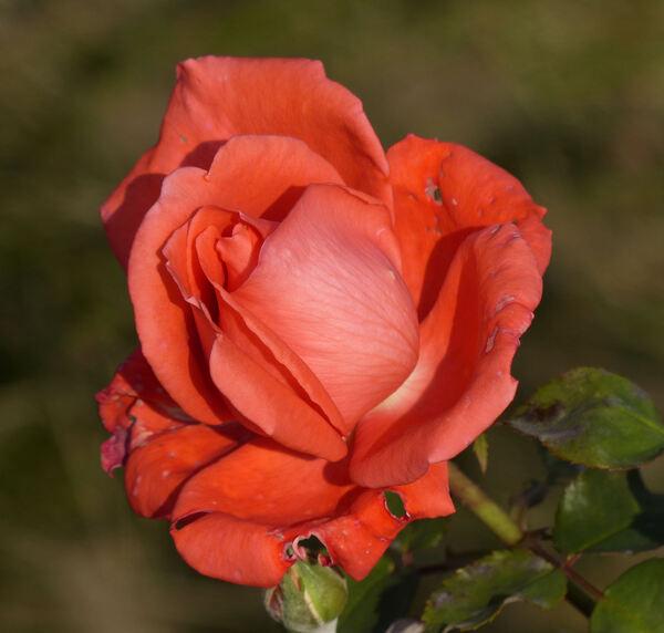 Rosa 'Super Star'