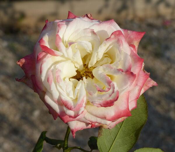 Rosa 'Farah'