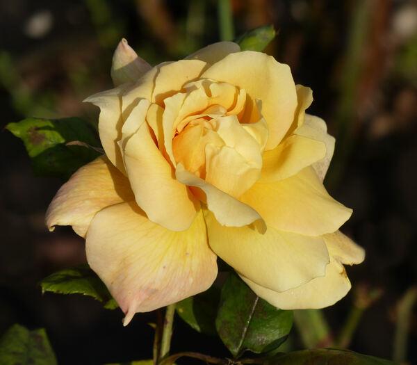 Rosa 'Polina'