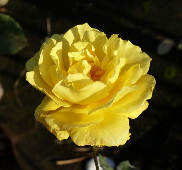 Rosa 'Goldstar'