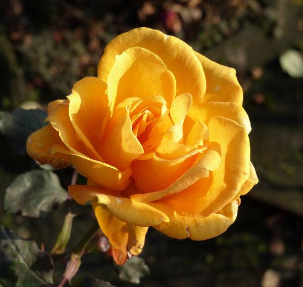 Rosa 'Raymond Kopa'