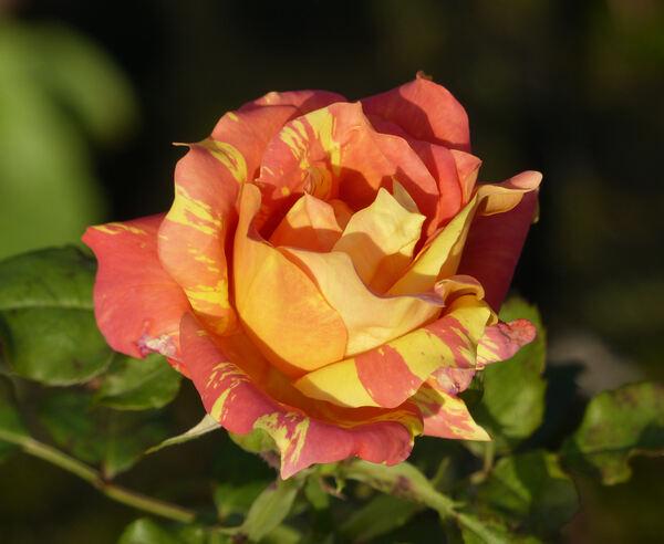 Rosa 'Paul Cézanne ®'