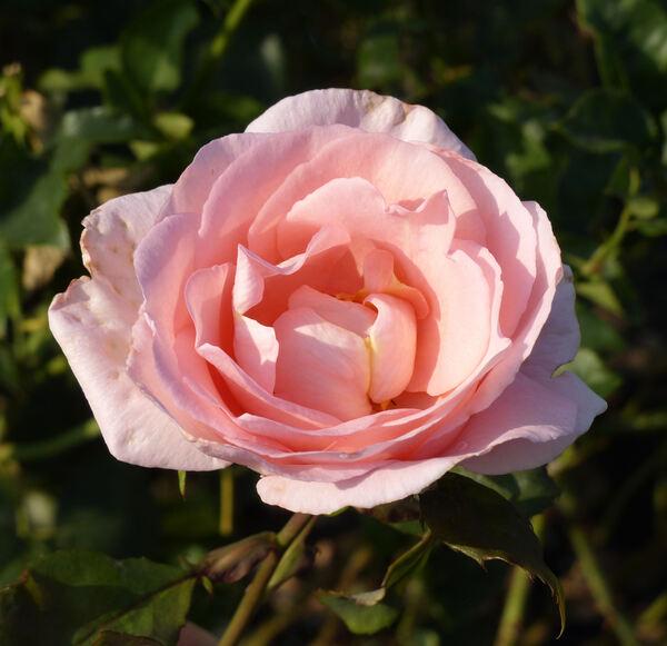 Rosa 'Glendora ®'