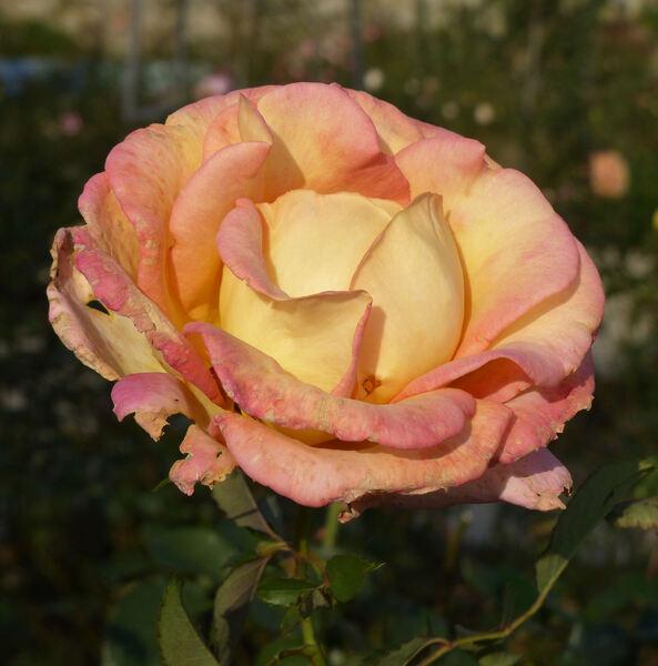 Rosa 'Jean Piat ®'