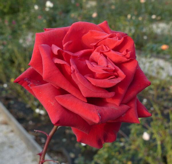 Rosa 'Valentino ®'