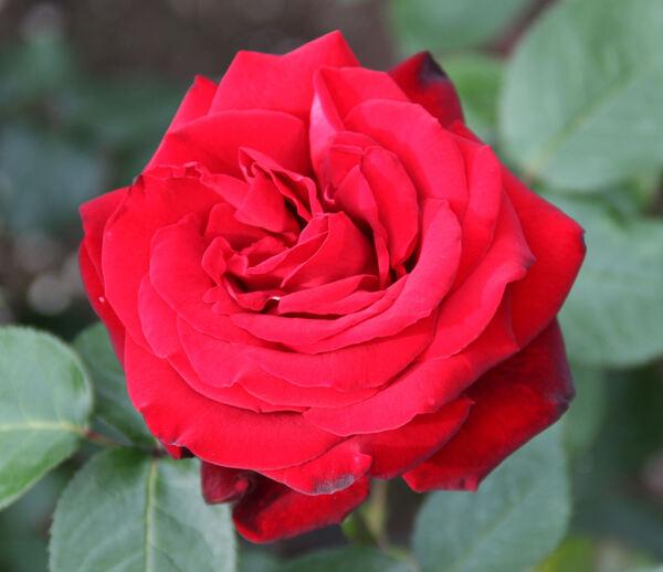 Rosa 'Herz-Ass'