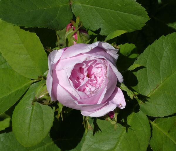 Rosa 'Siwa'