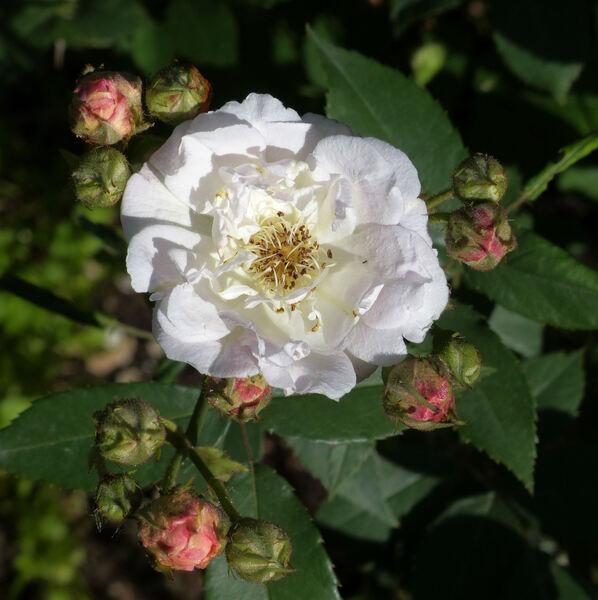 Rosa 'Docteur Ricaud'