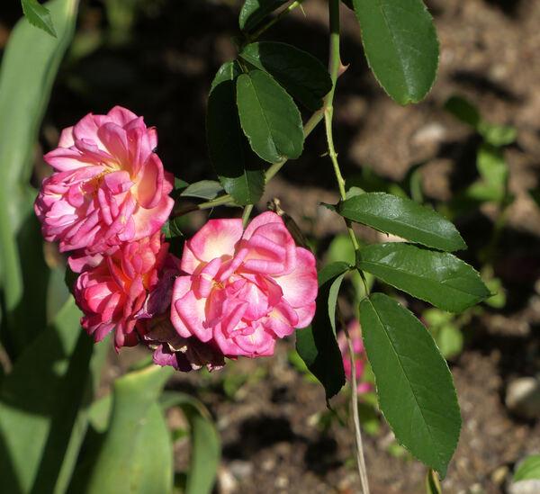 Rosa 'Léonie Lamesch'
