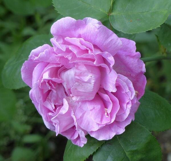 Rosa 'Mademoiselle Honorine Duboc'