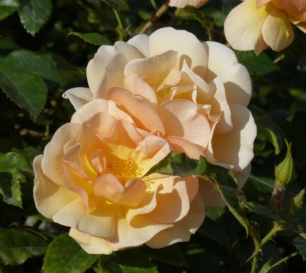 Rosa 'Amber Sun ®'