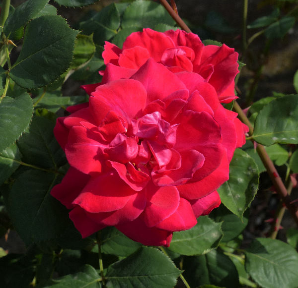 Rosa 'Love Song'