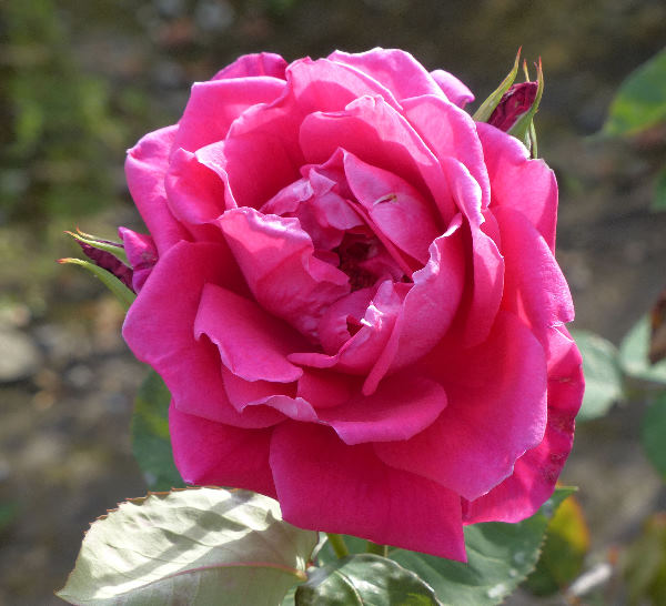 Rosa 'Valiant'