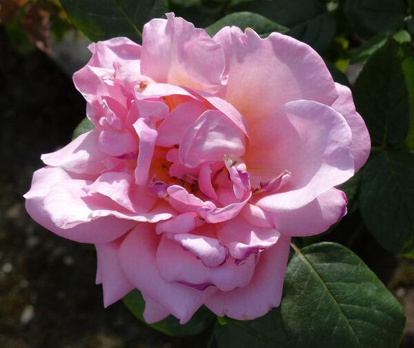 Rosa 'Paulette'