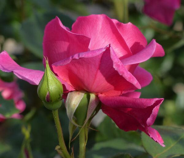 Rosa 'Primarosa'