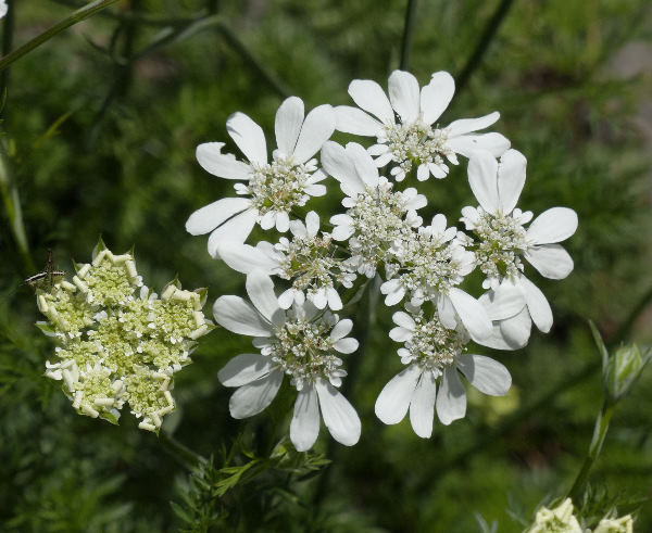 Orlaya grandiflora (L.) Hoffm.