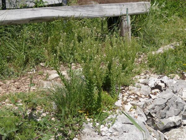 Lepidium campestre (L.) R.Br.