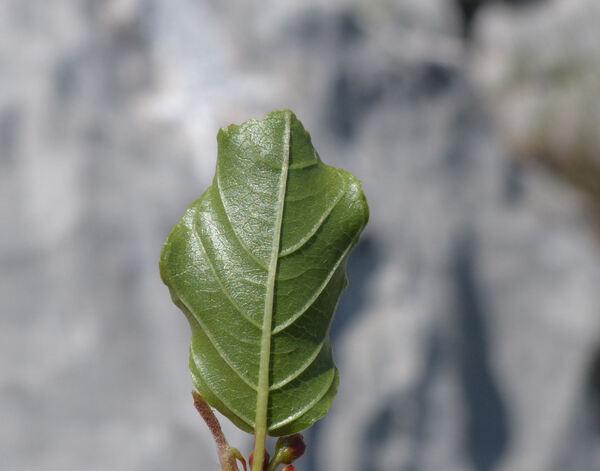 Frangula rupestris (Scop.) Schur