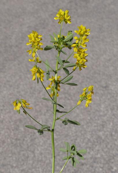 Medicago falcata L. subsp. falcata