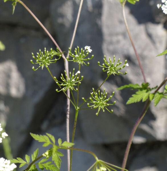 Chaerophyllum temulum L.